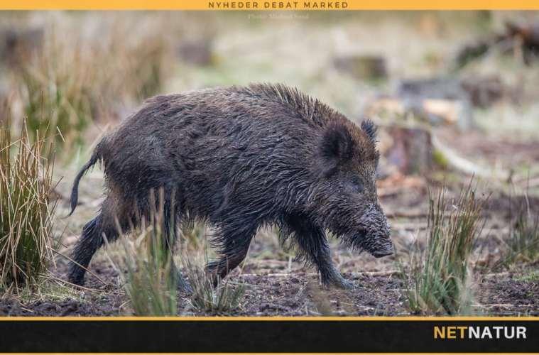 Radioaktive svenske vildsvin vækker bekymring