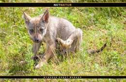 Danske ulvehvalpe er vandret til Tyskland