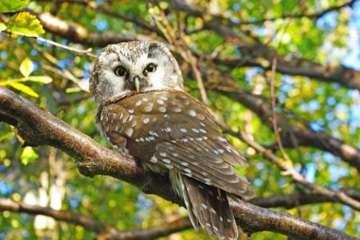 Perleuglen - ny og meget fåtallig ynglefugl i Danmark