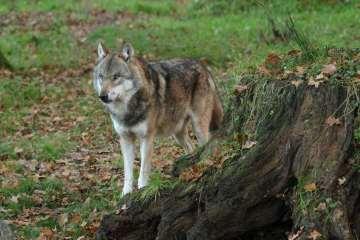 Naturstyrelsen lancerer ny ulvetelefon