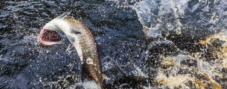 Regnskovsdelta, indianer og fluefiskeri efter tarpon