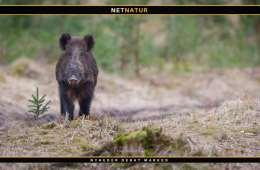Afrikansk svinepest konstateret i Belgien