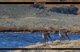 Gældende regler for jagt på moskus og rensdyr i Grønland
