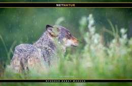 Tiltale i sag om nedskydning af ulv