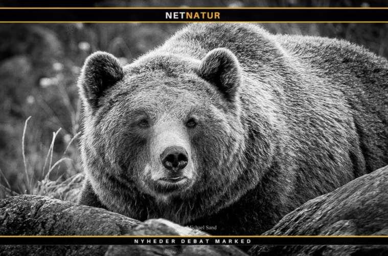 Jæger frifundet for at skyde bjørn