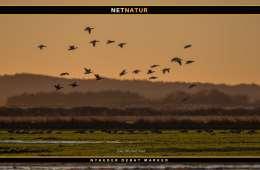 DOF: Vigtige vandfugleområder fjernes i strid med regler