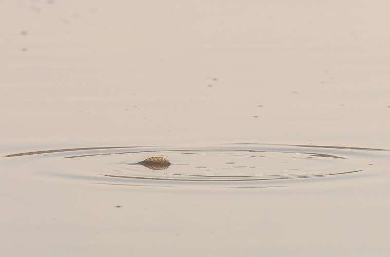 Derfor døde fiskene i Filsø