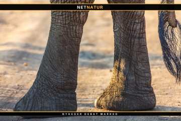 Uganda ønsker at reducere bestanden af elefanter