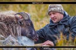 Jægerne på New Zealand har reddet Tahr fra udryddelse