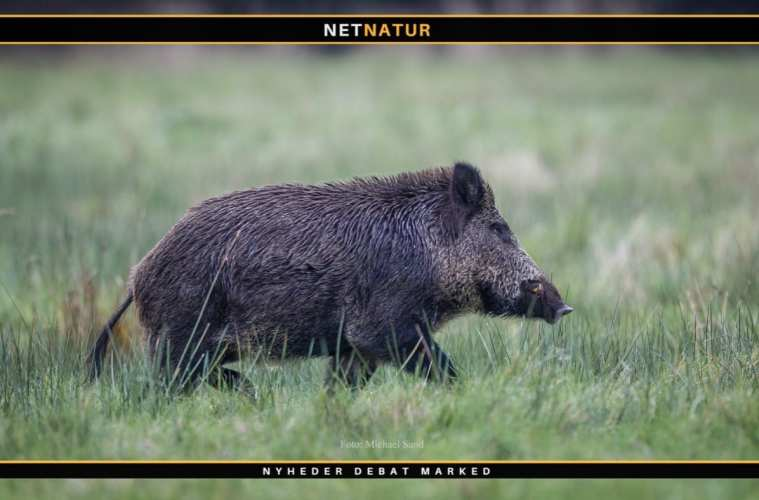 Nye vildsvine-sikre skraldespande i Sønderjylland
