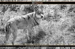 Video viser angreb på husdyr bag ulvesikre hegn