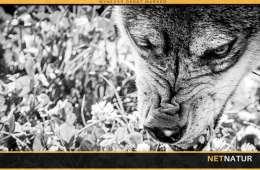 Mand bidt af ulvelignende dyr