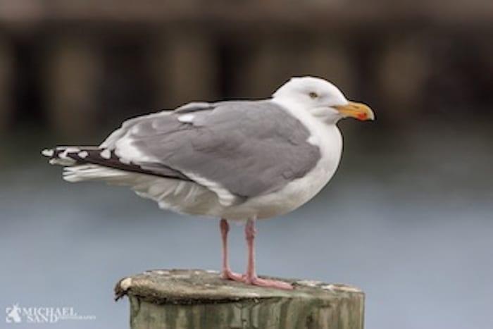 Sølvmågen - fuglen der tog skraldet