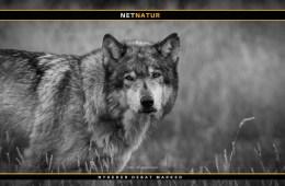 Tysk Miljøminister: Intet sikkert tegn på ulveangreb