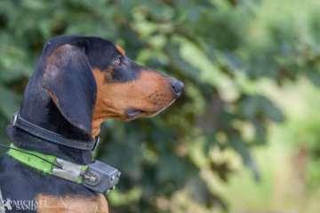 Anaplasmose - endnu en flåtbåren trussel mod din hund