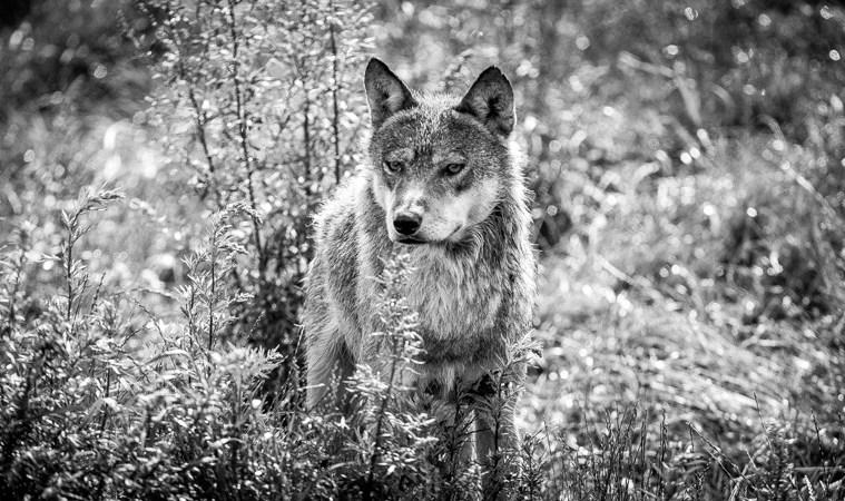 Hund møder ulv under jagt