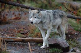 Ulven, som har været på spil på Djursland siden sommeren 2018, er ifølge den DNA-prøve formentlig en hvalp fra Ulfborg-parret i Vestjylland