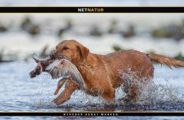 Hot-Spot - en plagsom hudbetændelse for din hund