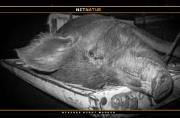 Vildsvin i Florida