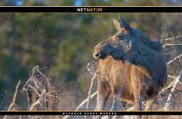 Svenske myndigheder konstaterer dødelig sygdom i elg