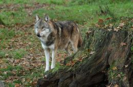 Stadigt færre ulve i dansk natur
