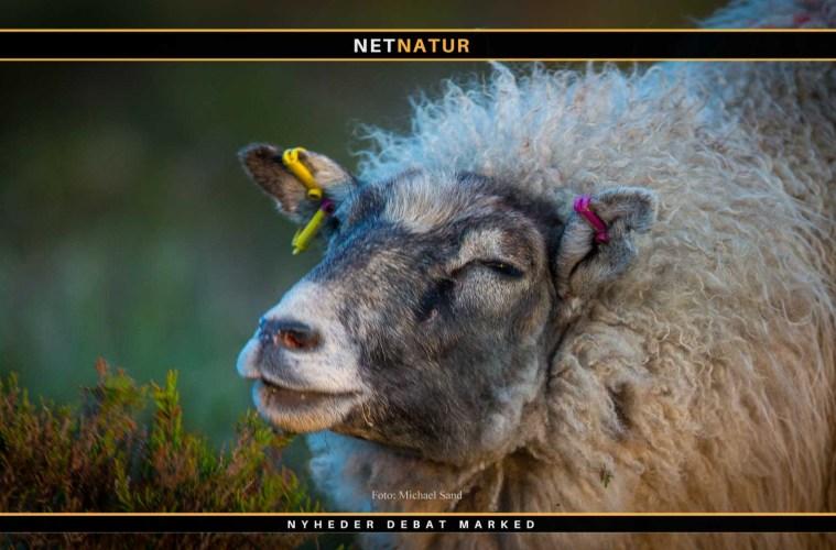 Klippet hul afsløret i ulvesikkert fårehegn