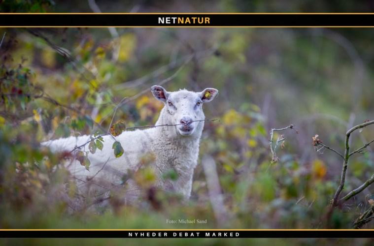 30 får og lam dræbt i Vestjylland