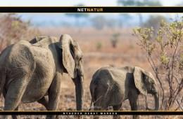 TGA: Derfor skal man skyde elefanter