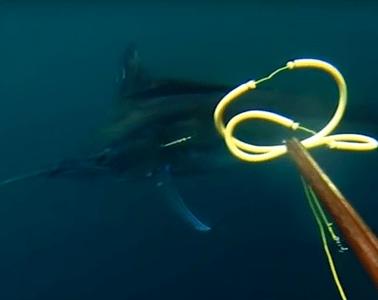 Marlin med harpun