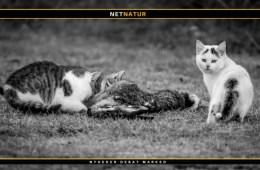 Katte bekæmpes med dusørjagt og giftige pølser