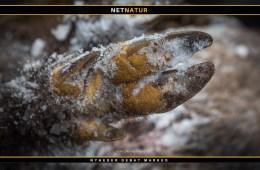 Tyske myndigheder intensiverer nu jagten på vildsvin