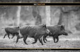 Vildsvin og jagt