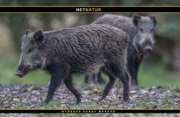 Afrikansk svinepest - hvad er det?