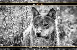Regulering af ulv