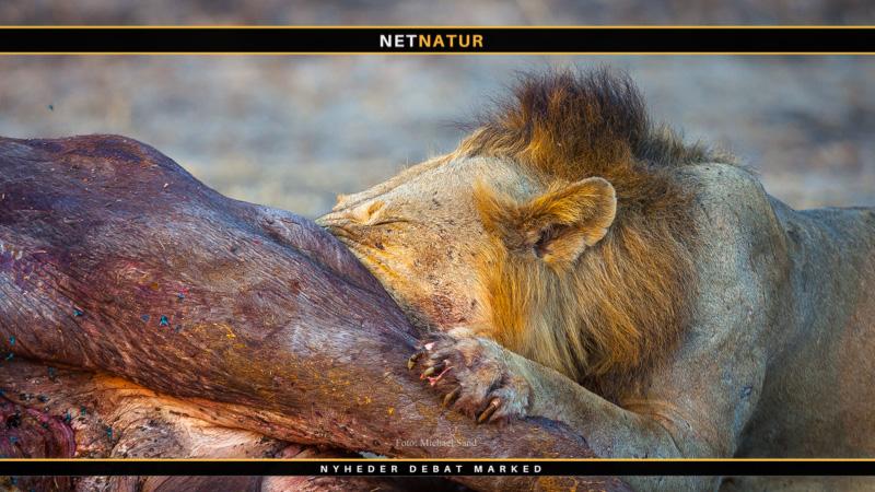 Løvejagt