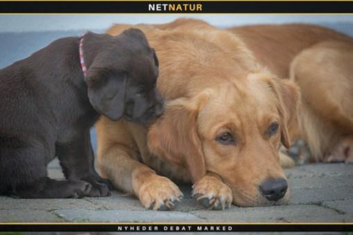 Hvalp brun labrador