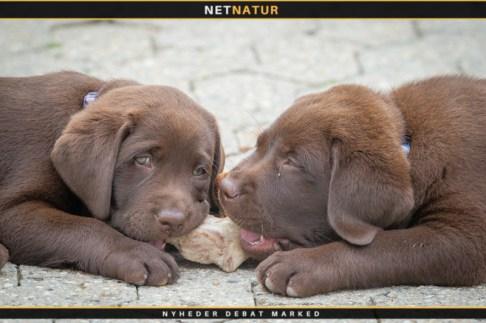 Hundehvalpe