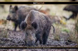 WWF sender klage over vildsvinehegn til Bernkonventionen