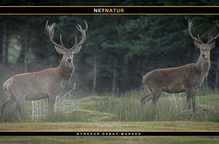 jagetiske regler for jagt på kronvildt