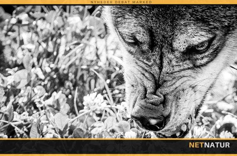 Kvinde dræbt af ulv eller hund