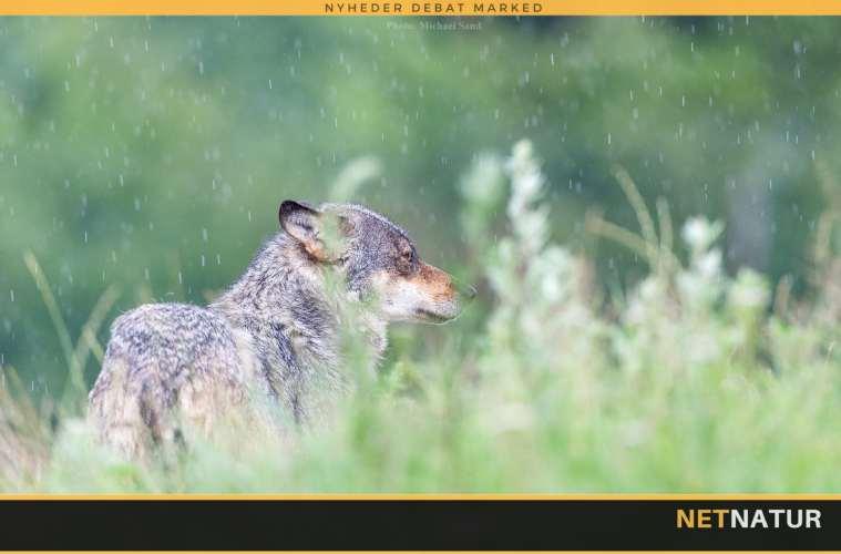 Norge og ulv