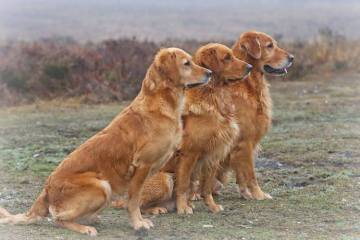 Golden Retriever - en apportør med et ekstra gear
