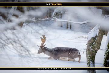 Regulering af jagt i høj sne