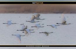 Sensation - Skestorken yngler nu på Fyn