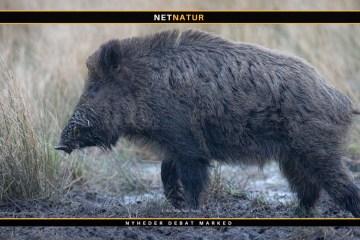 Vildsvinet var alligevel ikke et vildsvin