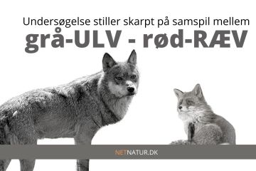 ulv og ræv