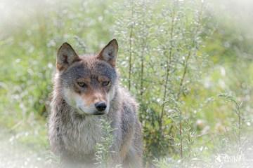 ulveprogram