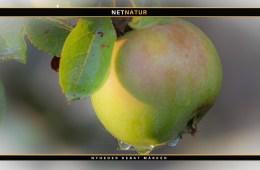 vild æble