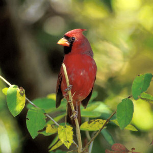 The cardinal, the state bird, was a common sight in my childhood in Virgina.