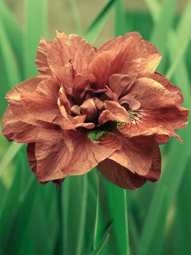 Iris sibirica 'Rigamarole'